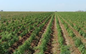 Another 6 states, 3 Indian tribes get hemp cultivation plan OK from USDA