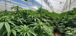Cannabis producer Clever Leaves starts trading on Nasdaq