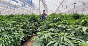 Colombian agency recommends allowing cannabis flower exports