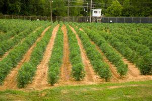 University of Mississippi marijuana research