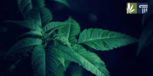 Israel Could Legalize Recreational Cannabis within 9 Months