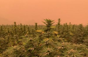 wildfires hemp, Study suggests West Coast hemp growers escaped smoke damage from wildfires