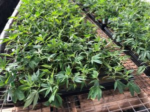 , This elusive pathogen is damaging hemp nationwide. Here's how to fight it.