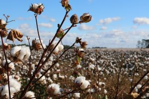 What kind of underwear should I wear? Many like organic cotton underwear, as can be seen growing in a field here.