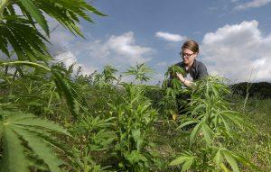 Despite pandemic, Midwest hemp producers build regional database to spot best cultivation practices