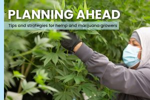 How to get hemp and marijuana young plants from the greenhouse into the ground