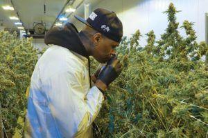 Indoor marijuana grower keeps strict schedule to maximize output, avoid bottlenecks