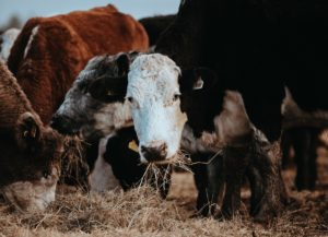 USDA grants nearly $300,000 for hemp cattle-feed study