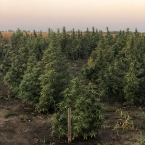 USDA wants new hemp production data from farmers