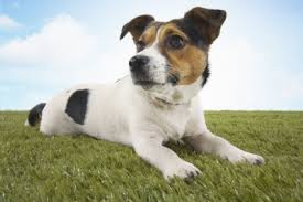 """Beware Avoid Like The Plague.. """"buyweedaustralia.com.au"""" It's a Scam Says Our Trusty Aussie Terrier"""