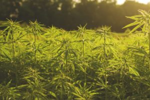 Idaho Hemp Bill Finally Signed Into Law, Legalizing The Crop Across All 50 States