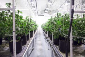 DEA Will Begin Granting Marijuana Cultivation Licenses