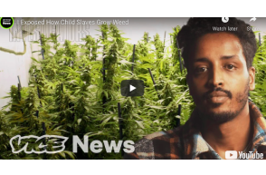 Vice – UK: I Exposed How Child Slaves Grow Weed