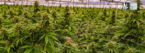 DEA Set to License Marijuana Growing Applicants for FDA-Approved Research