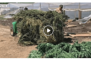 Oklahoma: Muskogee County Marijuana Farm Shut Down For Growing Without A License
