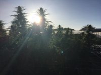 photo of outdoor grow operation