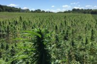 Too Many Cannabis Firms Put Sustainability in LastPlace