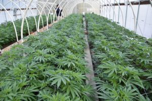 Growers in the Emerald Triangle are Facing a Potential Extinction Event