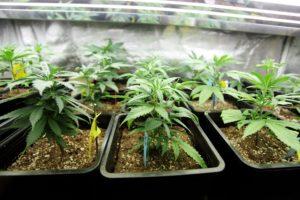 Medical Marijuana Cultivators in Alabama to Start Planting in 2022