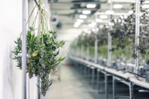 New Mexico Cannabis License Raises Eyebrows