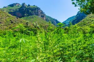 California Destroys 1M Plants in Marijuana Eradication Campaign