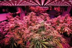 Illicit Cannabis Grow Op Discovered in Oregon