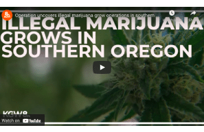 Operation uncovers illegal marijuana grow operations in southern Oregon