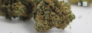 Sales of Medical Cannabis Flower Now Underway in Virginia