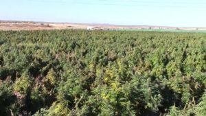 Spain: Cannabis farm as big as 16 football pitches found in Europe's biggest ever cannabis raid